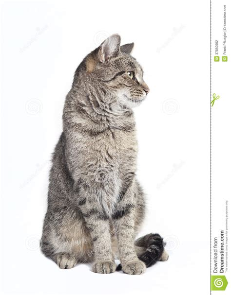 Tabby Cat Looking To The Side Stock Photography   Image