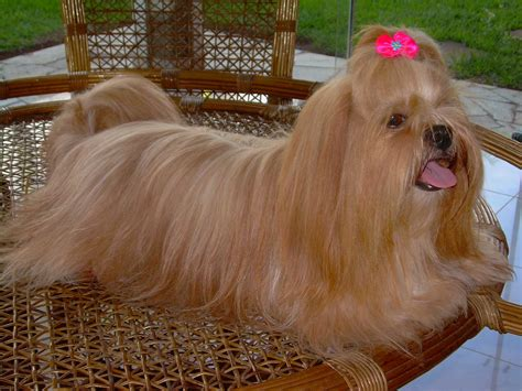lhasa apso svět pejsků ps 237 plemena ps 237 rasy rasy psů kokršpaněl labrador jezevč 237 k
