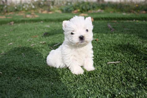 west highland white terrier alimentazione west highland white terrier allevamento cani di piccola