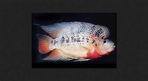 Pakan Ikan Louhan Paling Bagus jenis ikan 7 jenis ikan louhan termahal dan terbesar