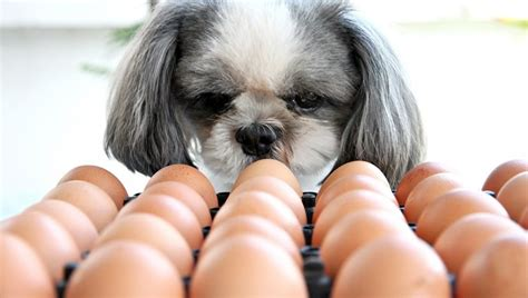 can dogs eat egg yolk can dogs eat eggs dogtime