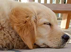 golden retriever puppies for sale ta golden retriever for sale uk photo