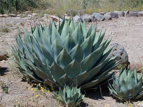 types of agave differences between all the agave products sisana sweeteners