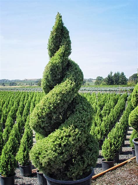 image detail for topiary popular in europe from at least