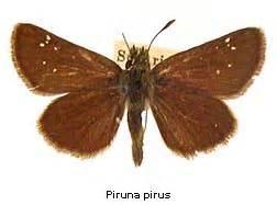 Pirus Top piruna discover