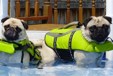 pug jacket swimming 26 best images about pugs swimming pug on swim canada and watches