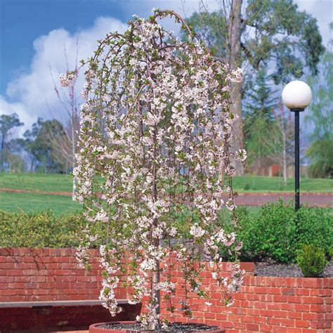 bunnings cherry blossom weeping cherry tree images