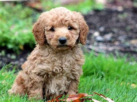 corgipoo puppies best 25 corgi poodle mix ideas on husky poodle mix corgi dalmatian and