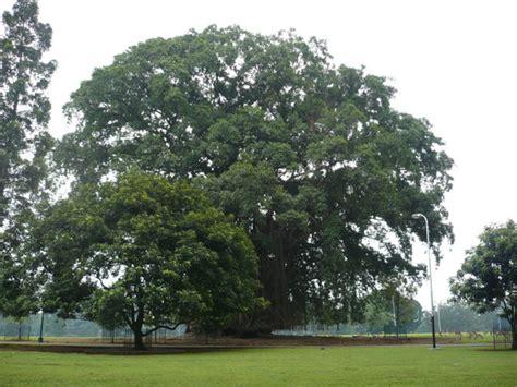 Pohon Pohonan Cemara belajar dari pohon beringin kaskus
