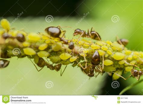 do ants eat aphids ants aphids stock photography image 25171992