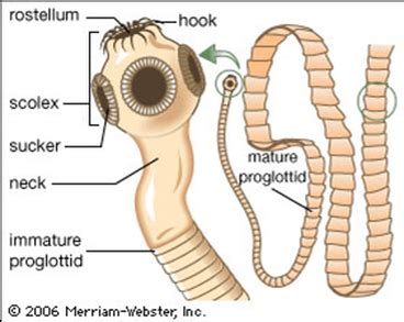 structure tapeworms