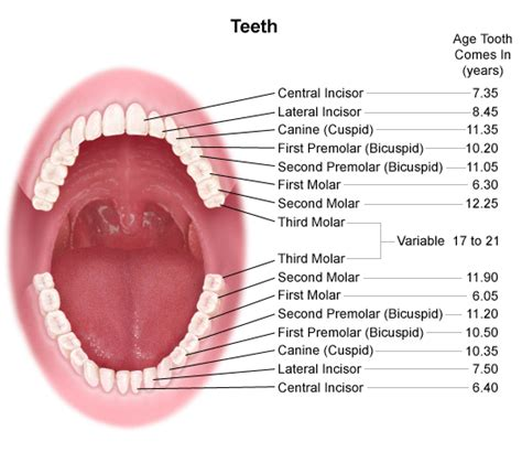 The Tooth anatomy and development of the and teeth