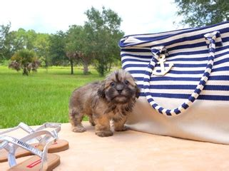 puppies  sale  florida buy teacup small breeds