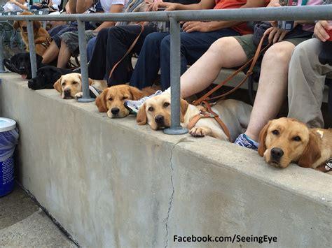 dogs baseball seeing eye dogs in at baseball manteresting