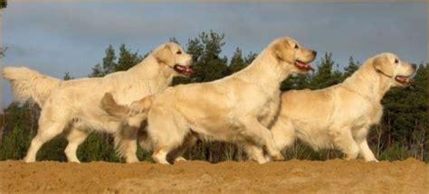 golden retriever iq piesporadnik pl golden retriever