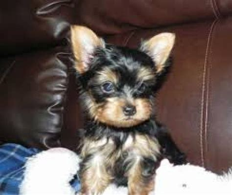 miniature yorkies adoption yorkie puppies mini tea cups on adoption offer 250