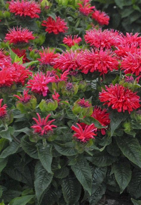 17 best images about deer resistant perennials on pinterest fruit punch spikes and deer