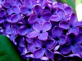 all photos gallery purple flower pictures pictures of