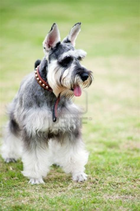 pictures of schnauzer puppies miniature schnauzer puppies car interior design