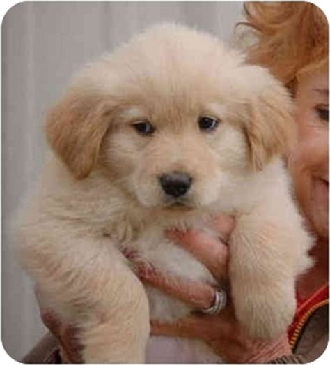 golden retrievers ct barli rdv adopted puppy rdv035 hartford ct golden retriever scotia duck