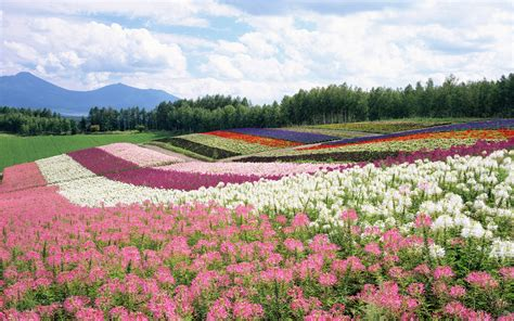 Flower Garden In Japan Wallpaper Clouds Field Hill Hokkaido Japan Flower Garden
