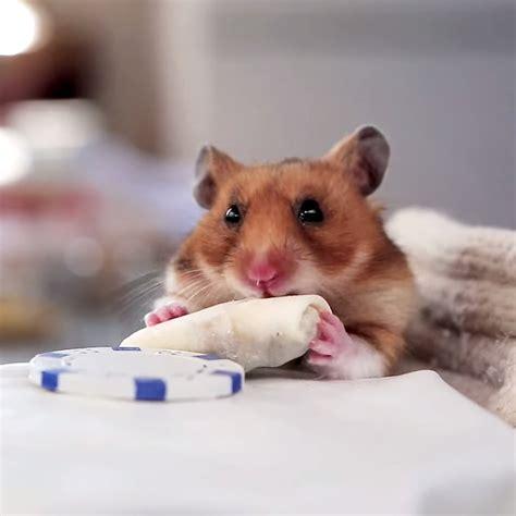 who eats dogs hamster mini wroc awski informator