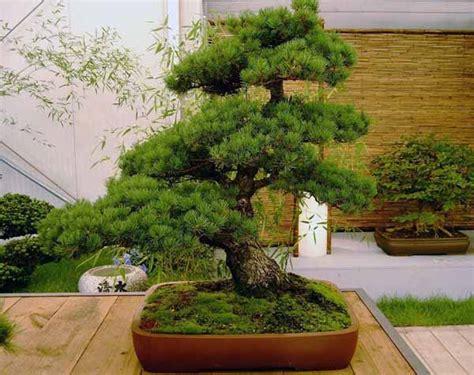 tipi di bonsai da interno bonsai guida completa alla coltivazione e cura