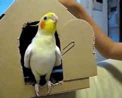 my gif bird cockatiel parrot tootricky