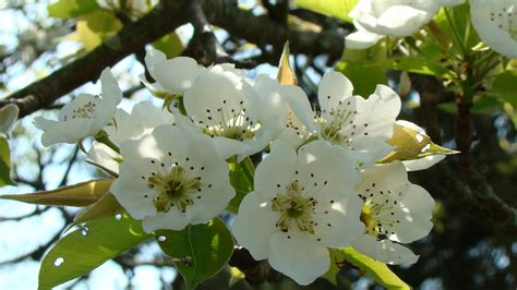 bloomin fruit trees in virginia s mountains shenandoah - Pear Tree Blossoms But No Fruit