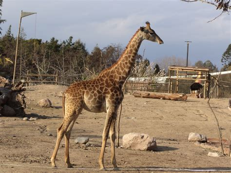 imagenes reales de jirafas image gallery jirafas reales