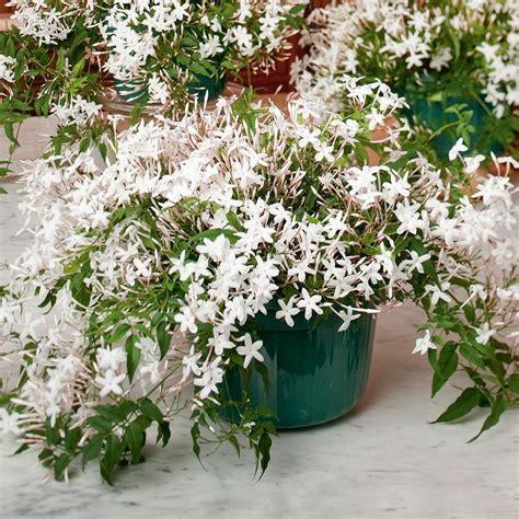 jasmine plant   hanging pot jasmine flower white
