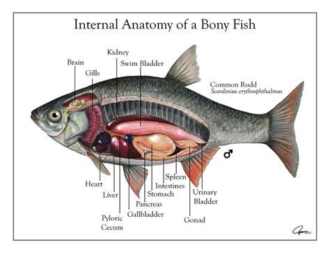 diagram of a bony fish bony fish anatomy diagram nhssc c4f309e6c8fa