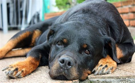rottweilers as pets rottweiler a pet photo