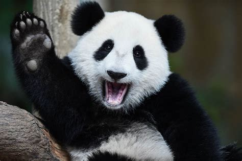 Hi Meme - waving panda hi meme generator