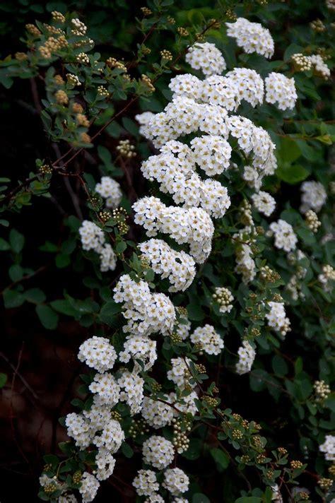 bridal wreath spirea shrubs old fasioned pinterest