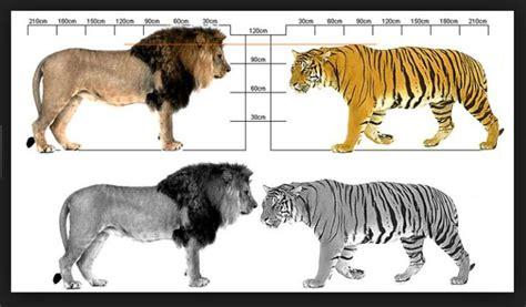 Bantal Macan Dan Singa harimau vs singa siapa yang bakal menang uniklopedia