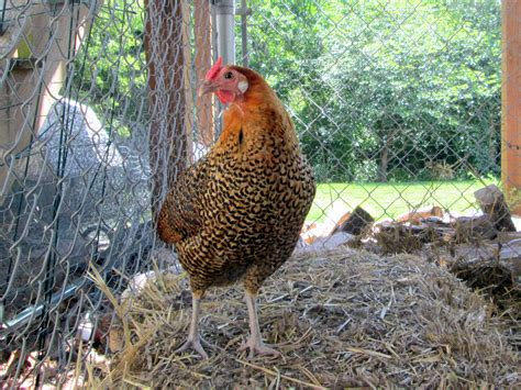 backyard chicken breeds meet the girls and learn about three backyard chicken breeds counting my