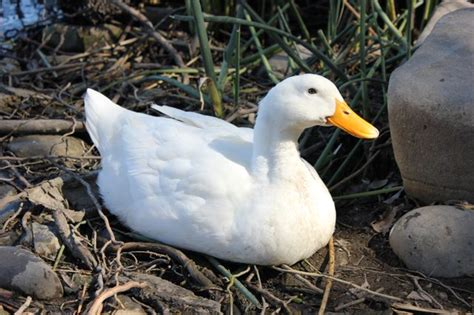 identify breed by characteristics how to identify duckling breeds cuteness