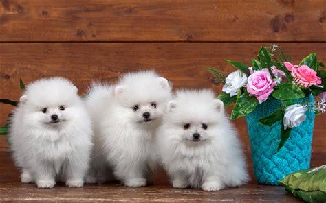 pomeranian spitz white wallpapers white pomeranian puppies dogs pomeranian spitz animals