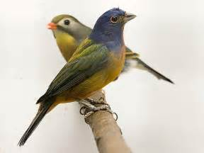 Canary by Canary Wallpapers Fun Animals Wiki Videos Pictures