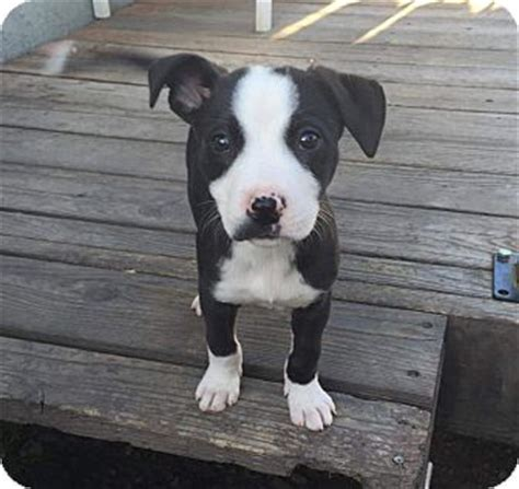 pitbull border collie mix puppies libby adopted puppy concord ca border collie american pit bull terrier mix