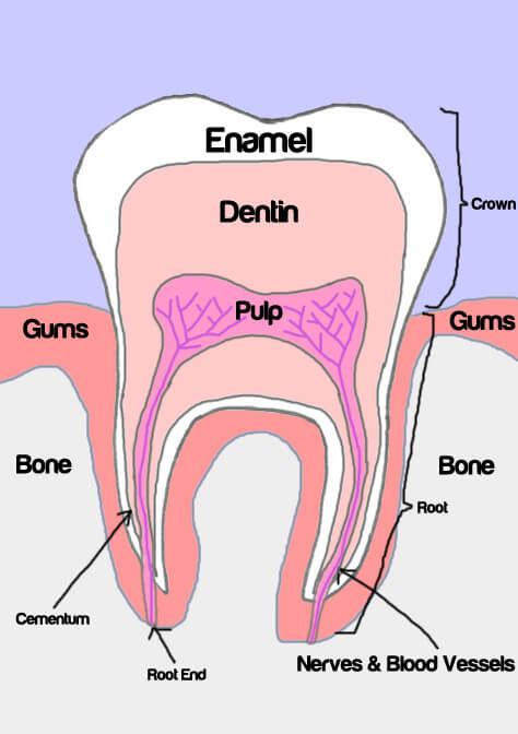 diagram of a tooth to label tooth anatomy
