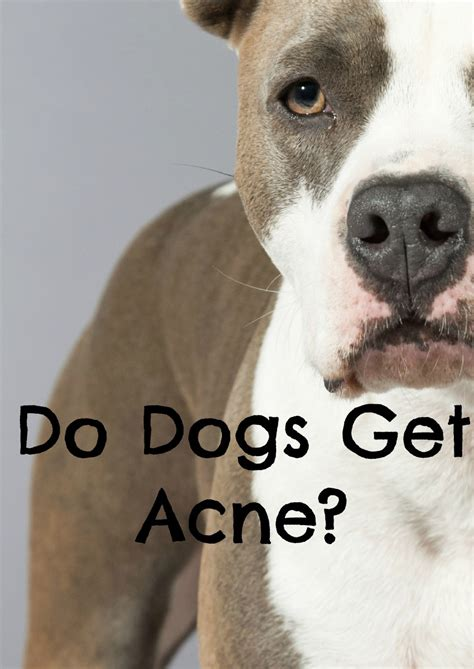 do dogs get pimples acne what is it and how do i treat it