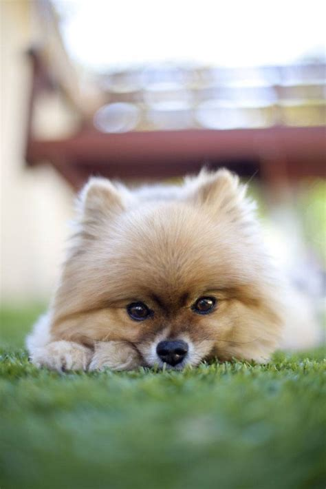 pomeranian name names for pomeranian pups breeds picture