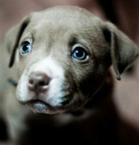 blue eyed puppies blue eyed pit bull pup dogs puppies beautiful a well and i want