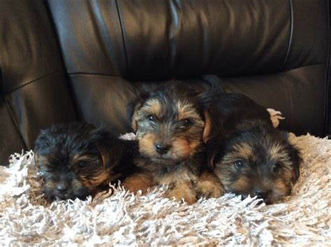 yorkie for sale in chicago terrier puppies for sale chicago il 241042