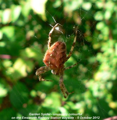 Garden Spider Brown Emsworth Wildlife Diary