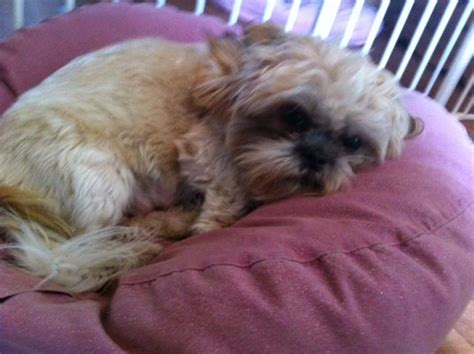 shih tzu rescue west shih tzu rescue available dogs for adoption breeds picture