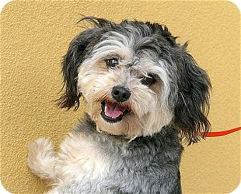 tibetan names for shih tzu maxx adopted a031370 berkeley ca tibetan terrier shih tzu mix