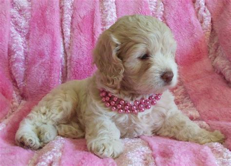 teacup puppies for sale missouri puppies for sale cockapoo teacup mini cockapoos and cavapoos f category